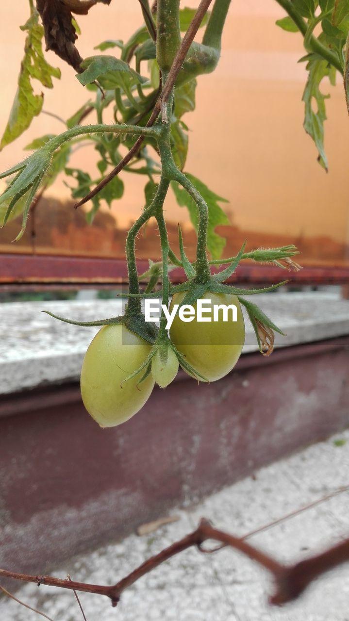 Close-Up Of Unripe Tomato Plant