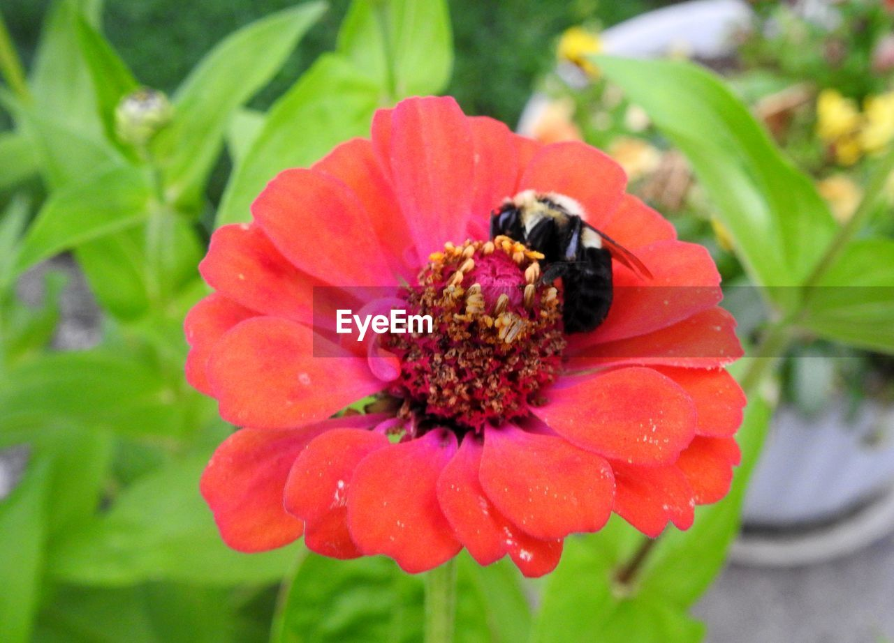 flower, one animal, petal, animal themes, insect, nature, animals in the wild, freshness, growth, beauty in nature, fragility, flower head, plant, no people, animal wildlife, bee, close-up, outdoors, day, pollination, blooming, zinnia