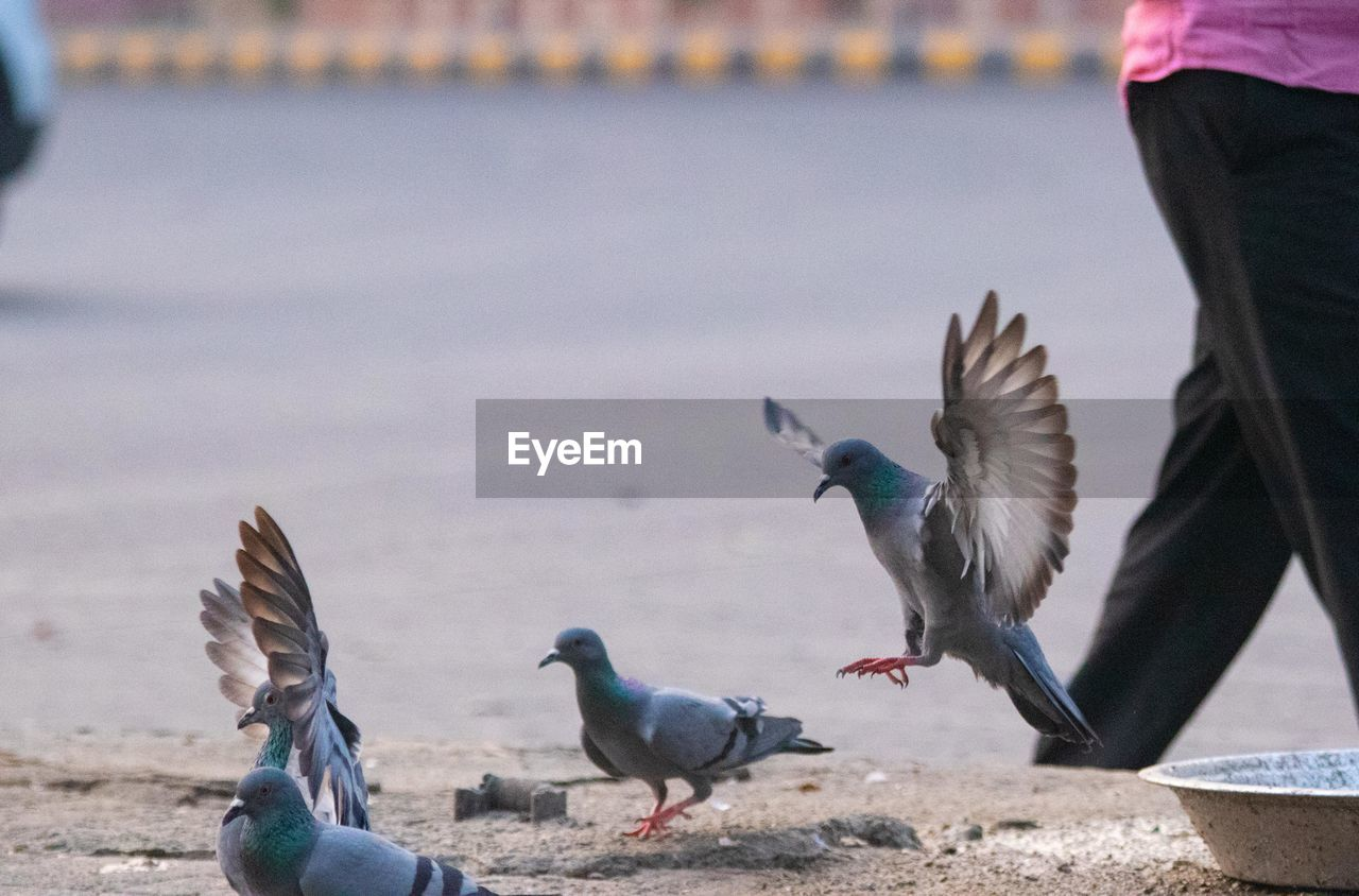 bird, vertebrate, animal themes, animal, animals in the wild, animal wildlife, group of animals, spread wings, day, focus on foreground, flying, water, nature, outdoors, two animals, pigeon, seagull, no people, land