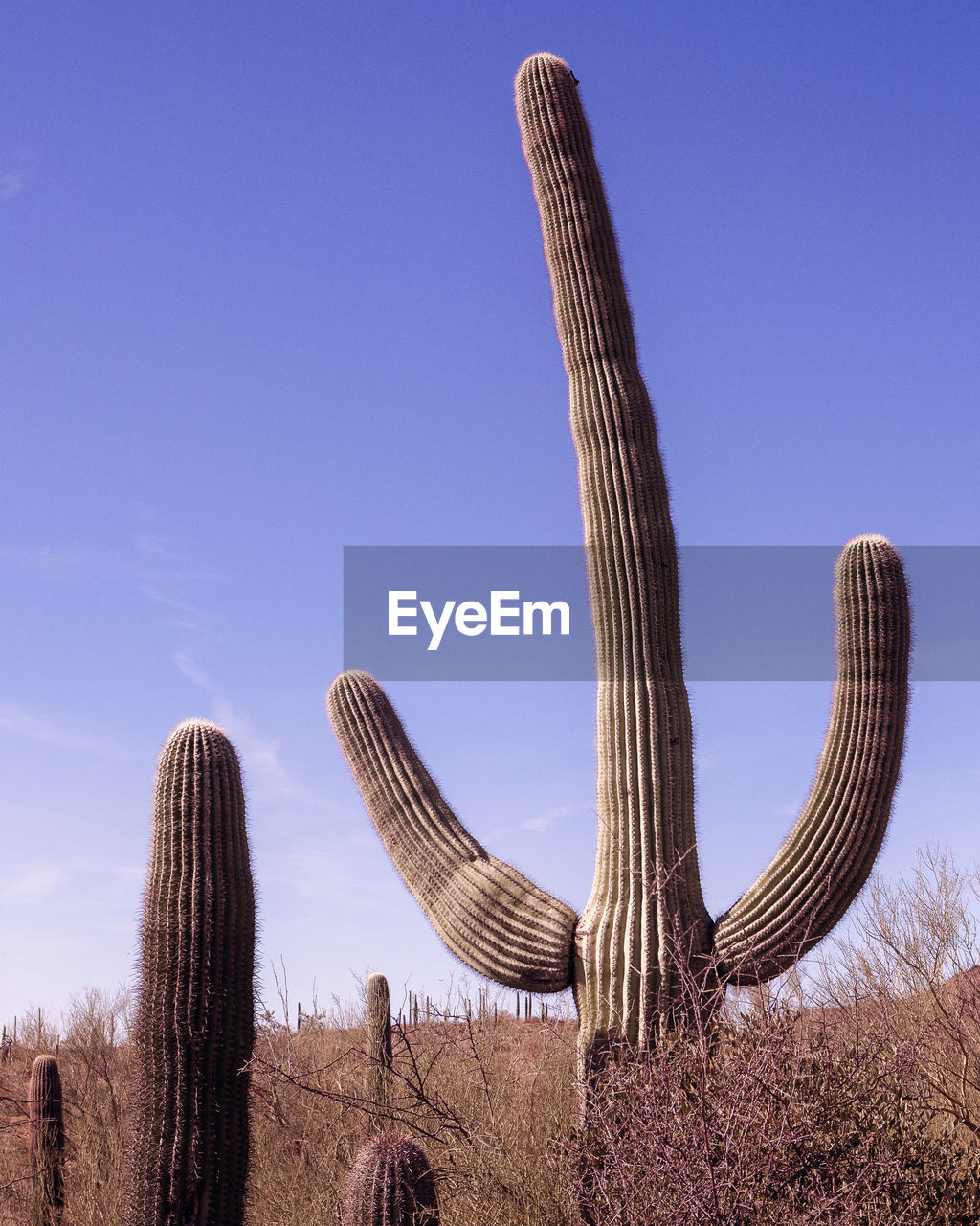 Low angle view of cactus growing on field against blue sky