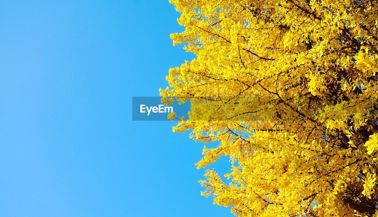 plant, yellow, tree, autumn, low angle view, blue, sky, nature, beauty in nature, growth, day, change, clear sky, branch, no people, outdoors, copy space, tranquility, leaf, plant part