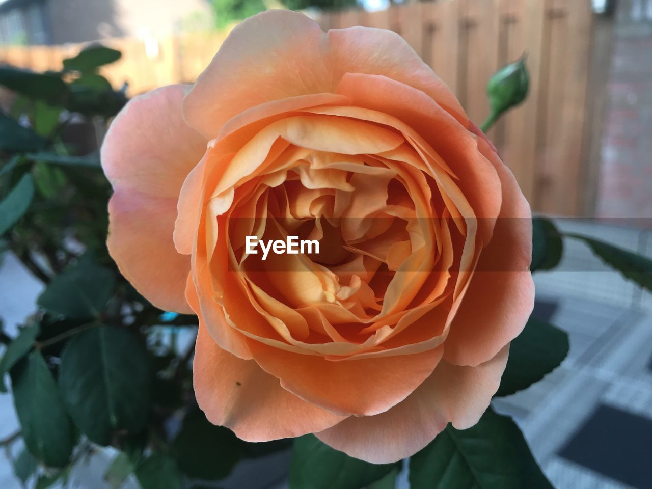 flowering plant, flower, plant, beauty in nature, petal, vulnerability, freshness, close-up, flower head, rose, inflorescence, fragility, rose - flower, growth, focus on foreground, day, nature, no people, outdoors
