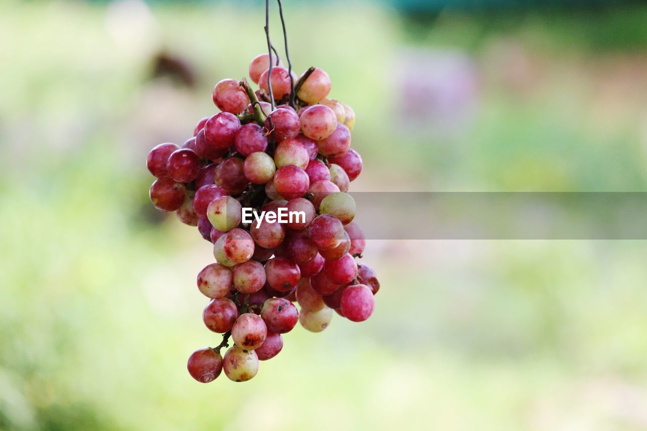 fruit, healthy eating, focus on foreground, food, food and drink, growth, freshness, close-up, day, plant, no people, nature, beauty in nature, berry fruit, wellbeing, red, tree, outdoors, bunch, hanging