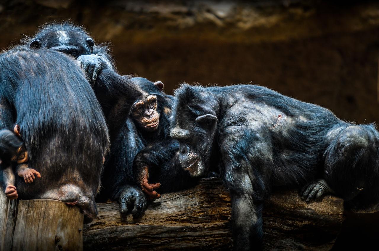 Monkeys on wood
