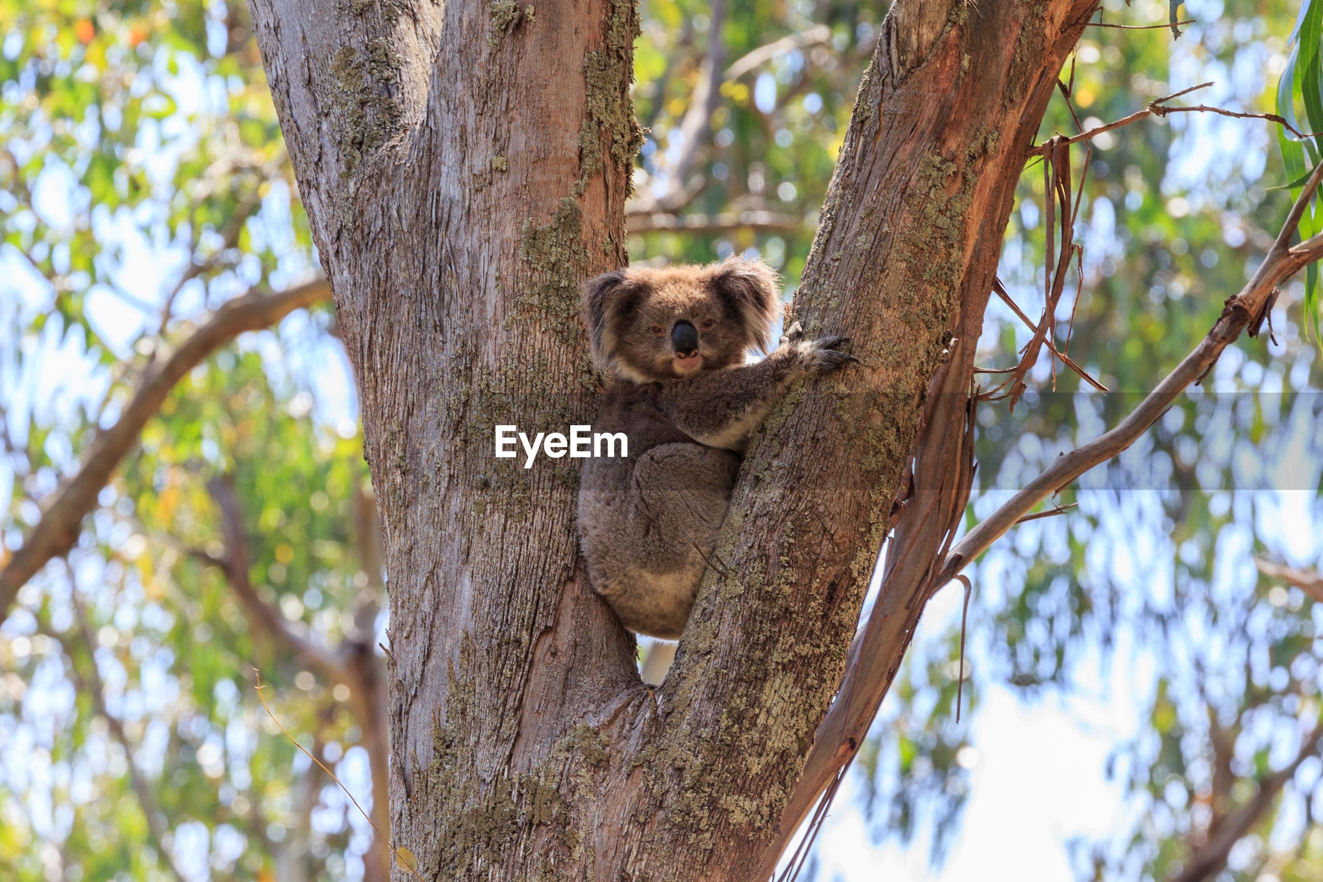 Portrait of koala sleeping on tree against sky