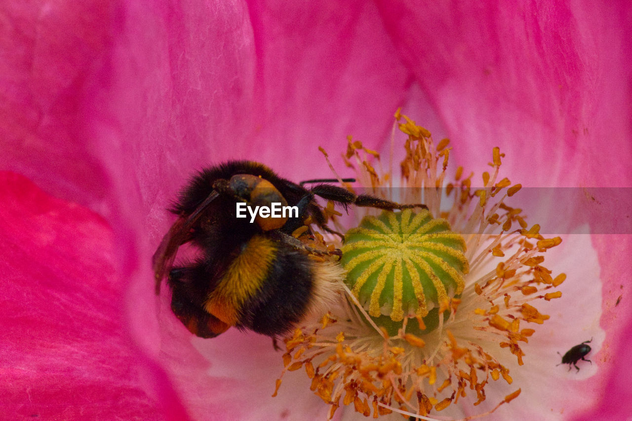 pink color, animal, animal themes, animals in the wild, animal wildlife, flowering plant, flower, petal, one animal, beauty in nature, fragility, plant, invertebrate, flower head, freshness, vulnerability, close-up, bumblebee, bee, insect, pollination, no people, pollen