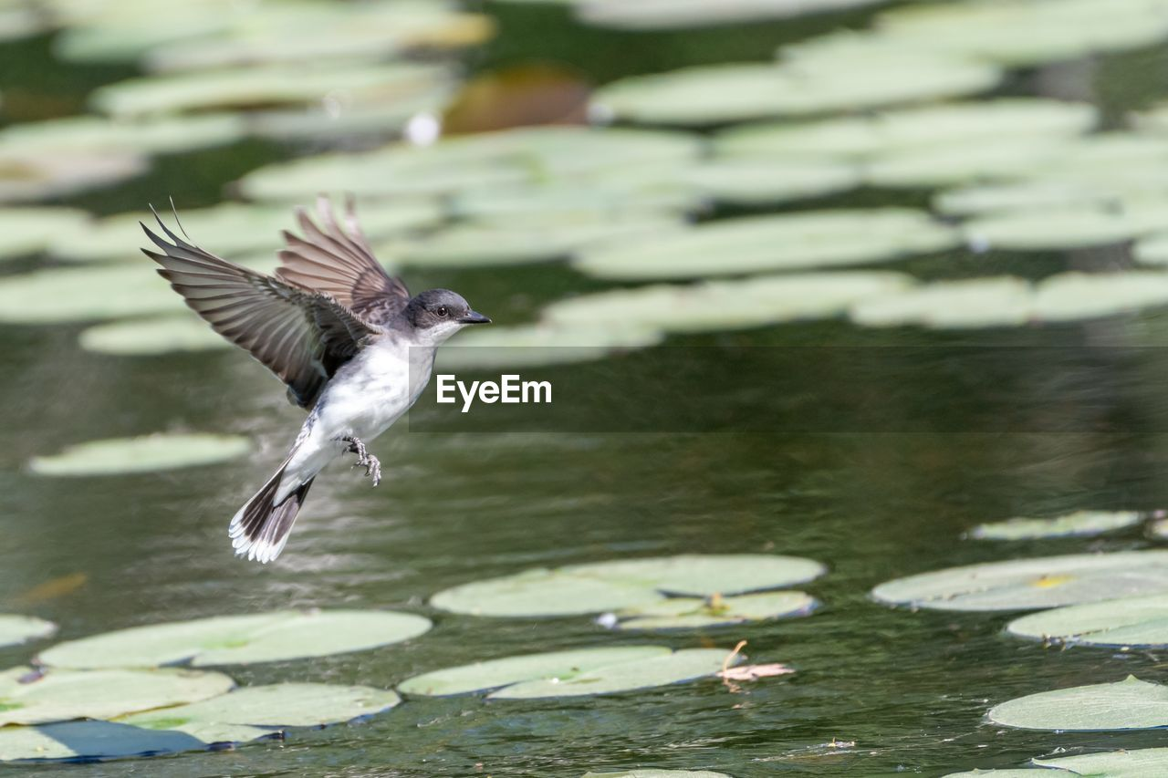 water, flying, animals in the wild, bird, animal wildlife, spread wings, vertebrate, animal themes, animal, mid-air, one animal, lake, motion, day, nature, no people, waterfront, focus on foreground, water bird, animal wing, seagull