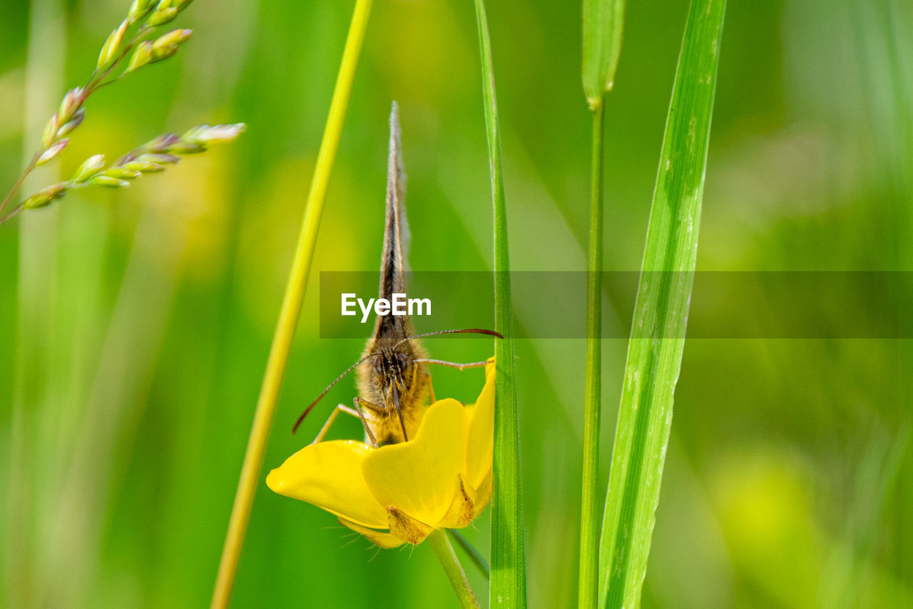 Vibrant yellow buttercup flowers, wild grasses and a meadow brown butterfly, maniola jurtina