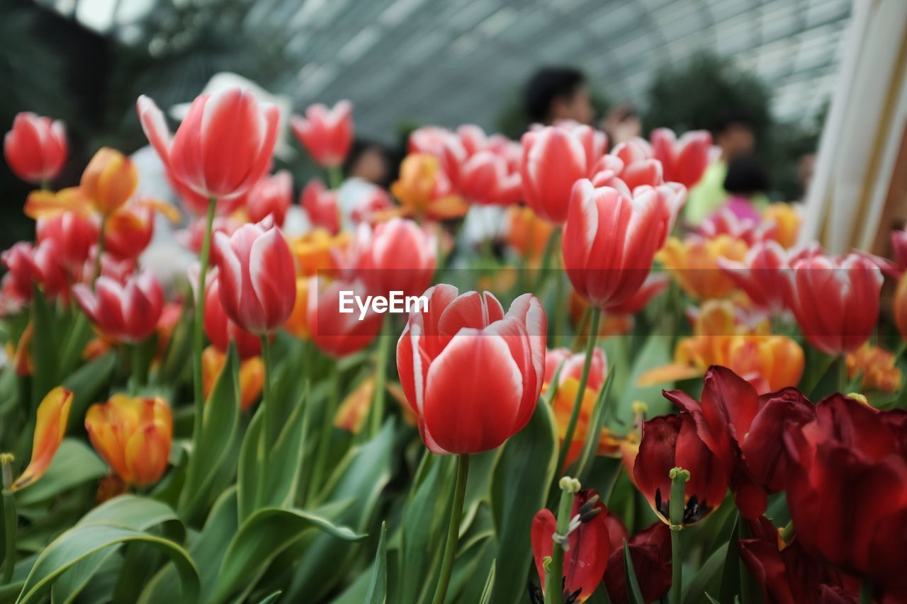 flower, growth, nature, beauty in nature, petal, freshness, fragility, plant, tulip, no people, blooming, day, outdoors, flower head, close-up