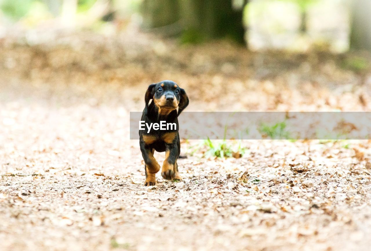 one animal, animal themes, animal, mammal, dog, canine, selective focus, vertebrate, domestic animals, pets, domestic, day, no people, land, nature, running, field, sunlight, looking at camera, portrait, small