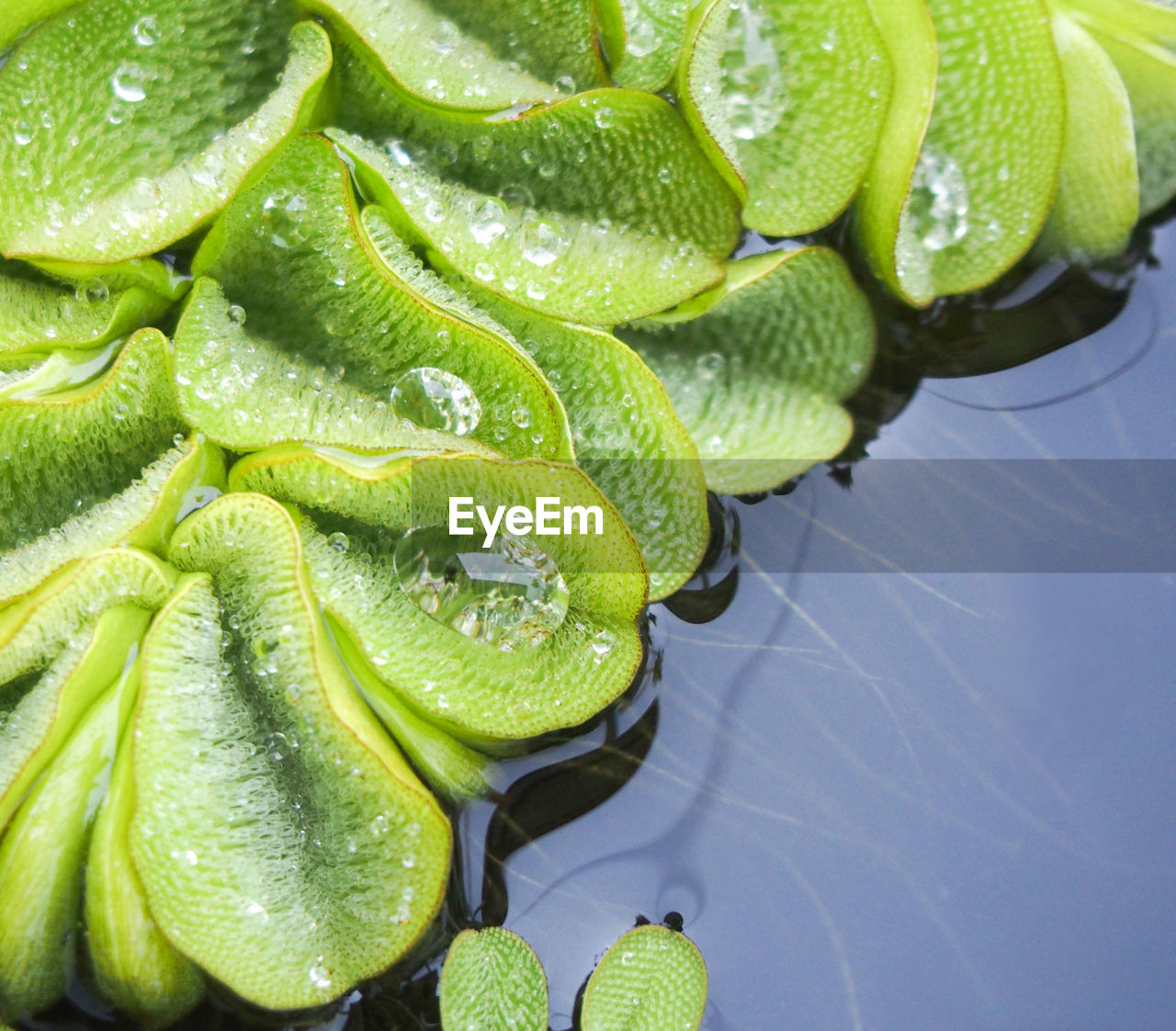 High Angle View Of Wet Leaves On Lake