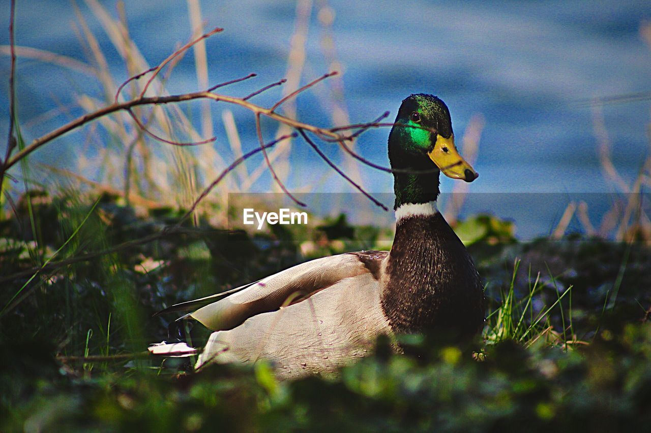 bird, vertebrate, animals in the wild, animal, animal wildlife, animal themes, duck, one animal, nature, selective focus, no people, poultry, day, plant, water, close-up, lake, beak, mallard duck