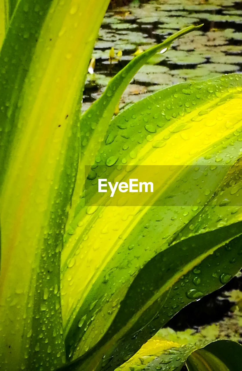 freshness, green color, leaf, close-up, no people, nature, backgrounds, full frame, water, day, growth, beauty in nature, fragility, outdoors, mojito