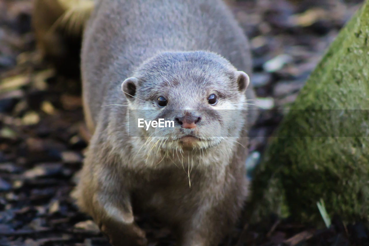animal themes, animal, animal wildlife, one animal, animals in the wild, mammal, looking at camera, portrait, no people, close-up, nature, day, focus on foreground, vertebrate, outdoors, land, front view, otter, underwater, field, whisker, animal head