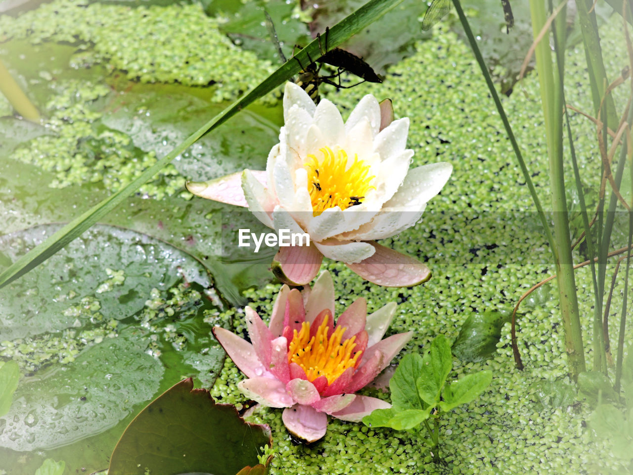 flower, fragility, nature, petal, freshness, growth, beauty in nature, flower head, green color, leaf, day, plant, outdoors, no people, blooming, water, close-up