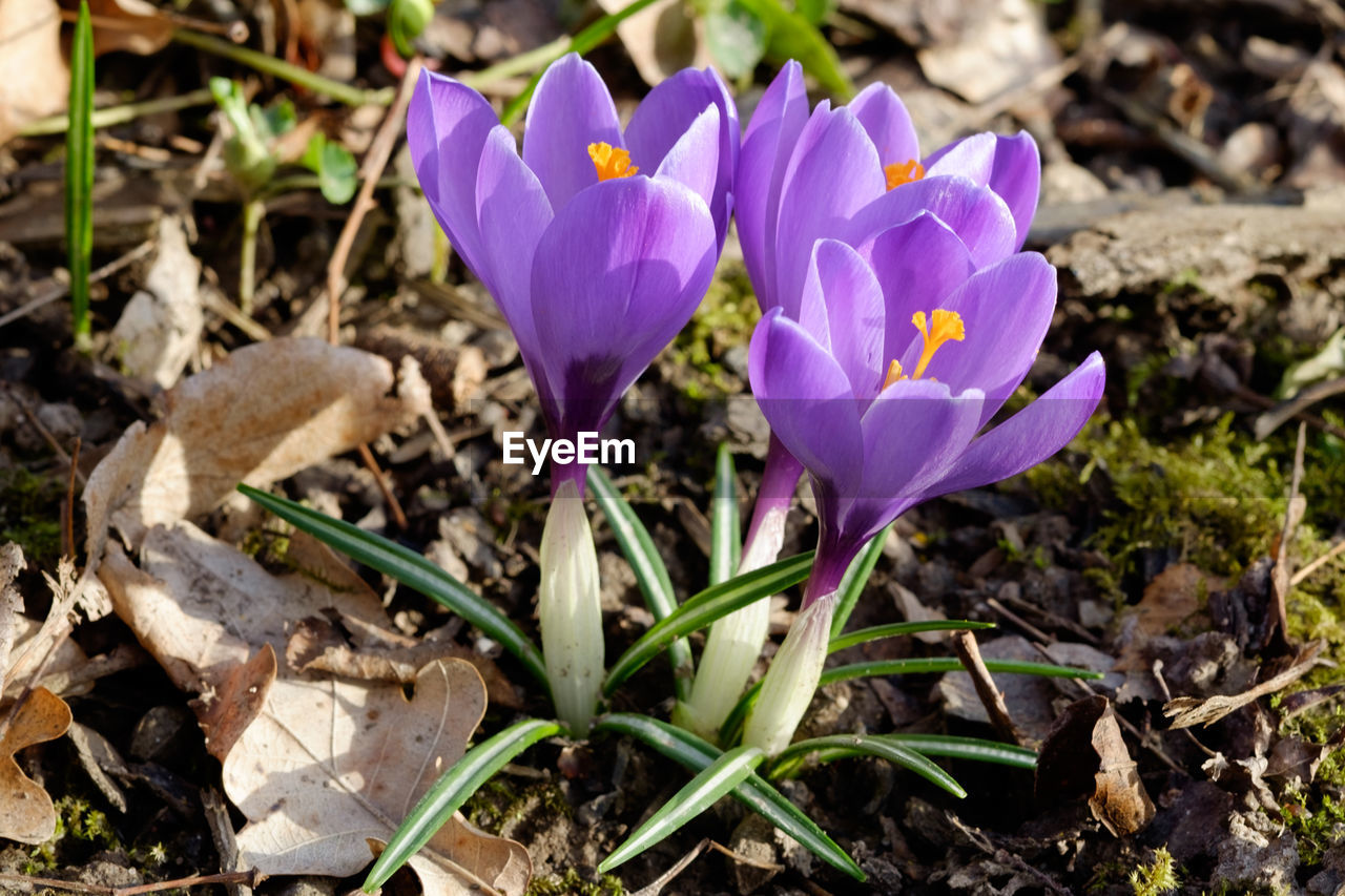 flower, petal, fragility, nature, growth, beauty in nature, purple, freshness, flower head, plant, crocus, field, outdoors, day, no people, blooming, close-up, snowdrop