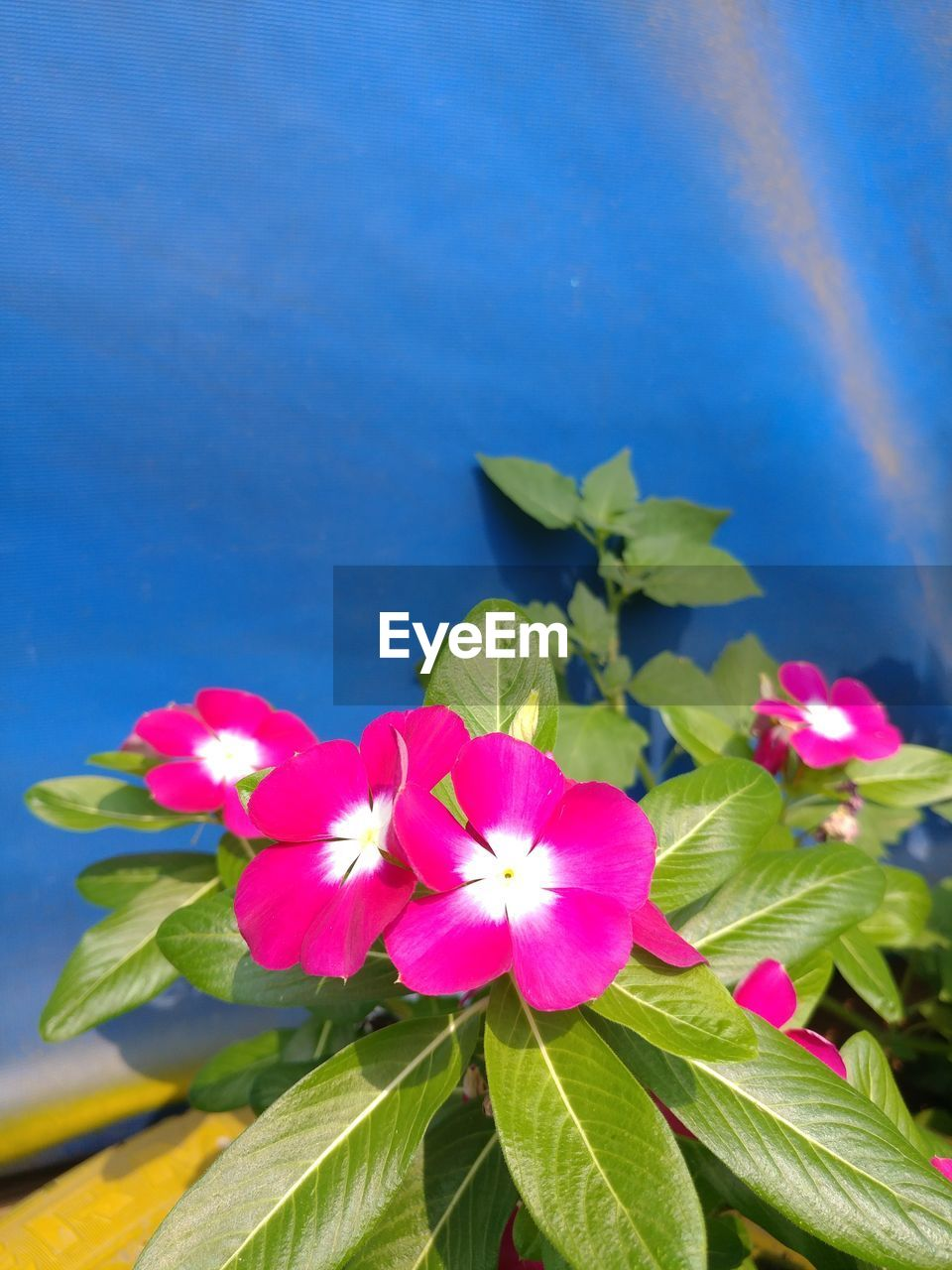 flower, fragility, petal, growth, beauty in nature, flower head, nature, leaf, pink color, freshness, plant, no people, blooming, day, outdoors, close-up, periwinkle