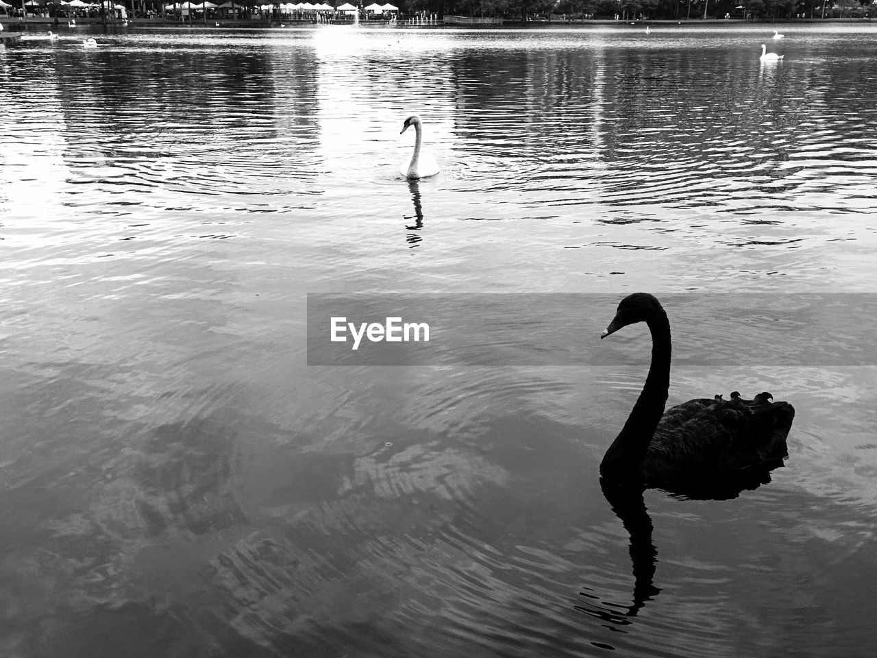 animals in the wild, water, reflection, one animal, bird, swimming, animal wildlife, lake, swan, outdoors, day, black swan, nature, water bird, real people, men, people