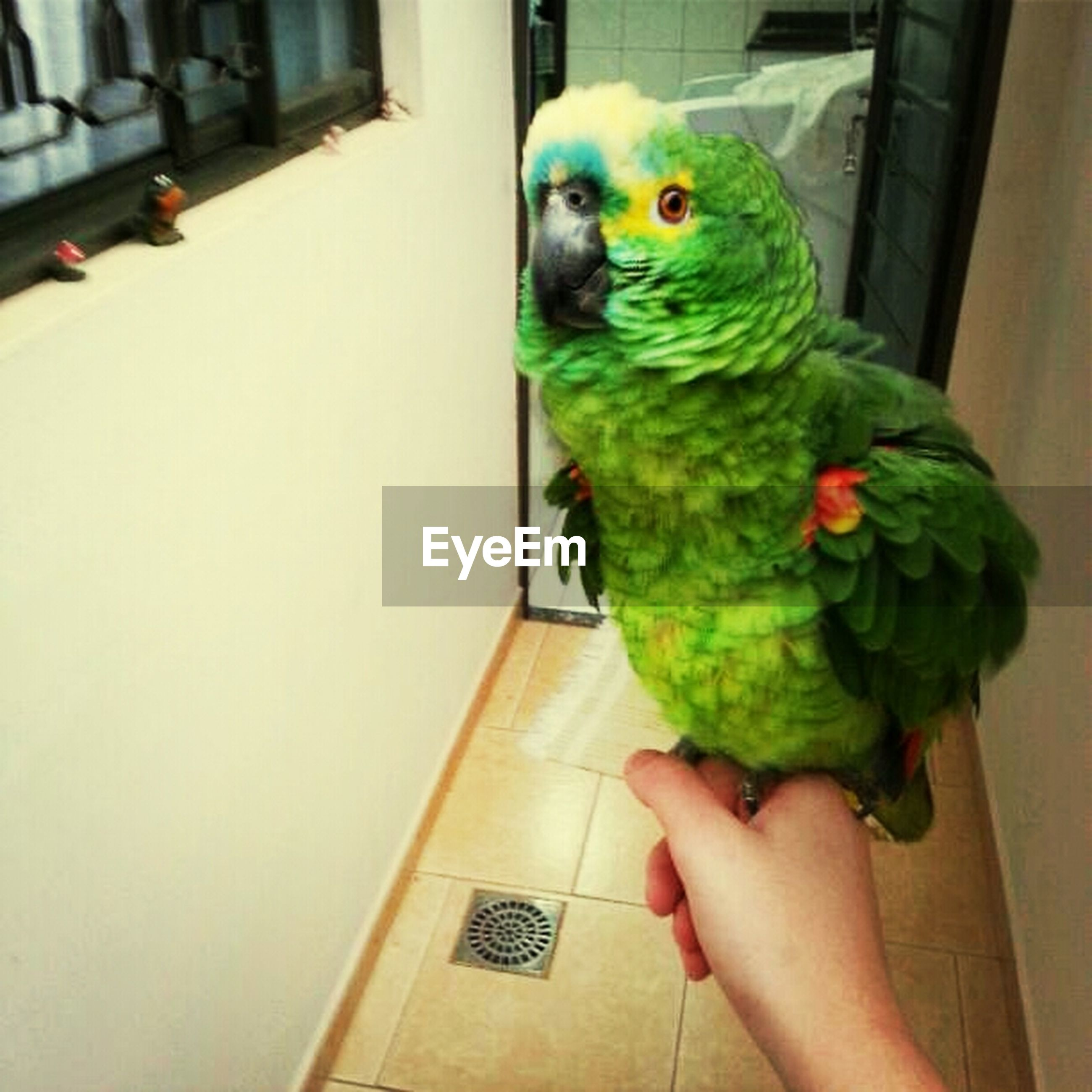 animal themes, one animal, bird, indoors, pets, parrot, holding, person, wildlife, animals in the wild, full length, green color, perching, unrecognizable person, close-up, multi colored, domestic animals