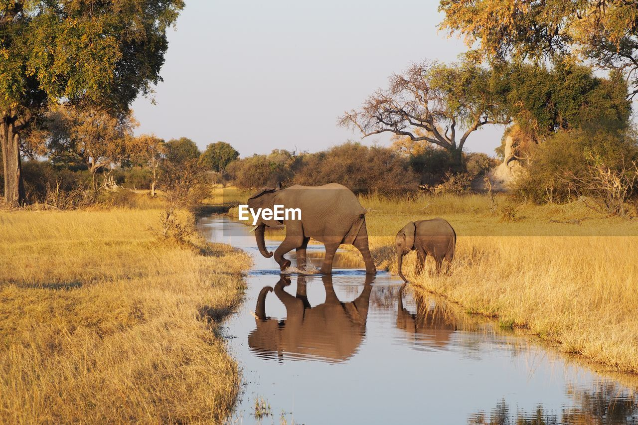 Side view of elephant and calf crossing stream in forest
