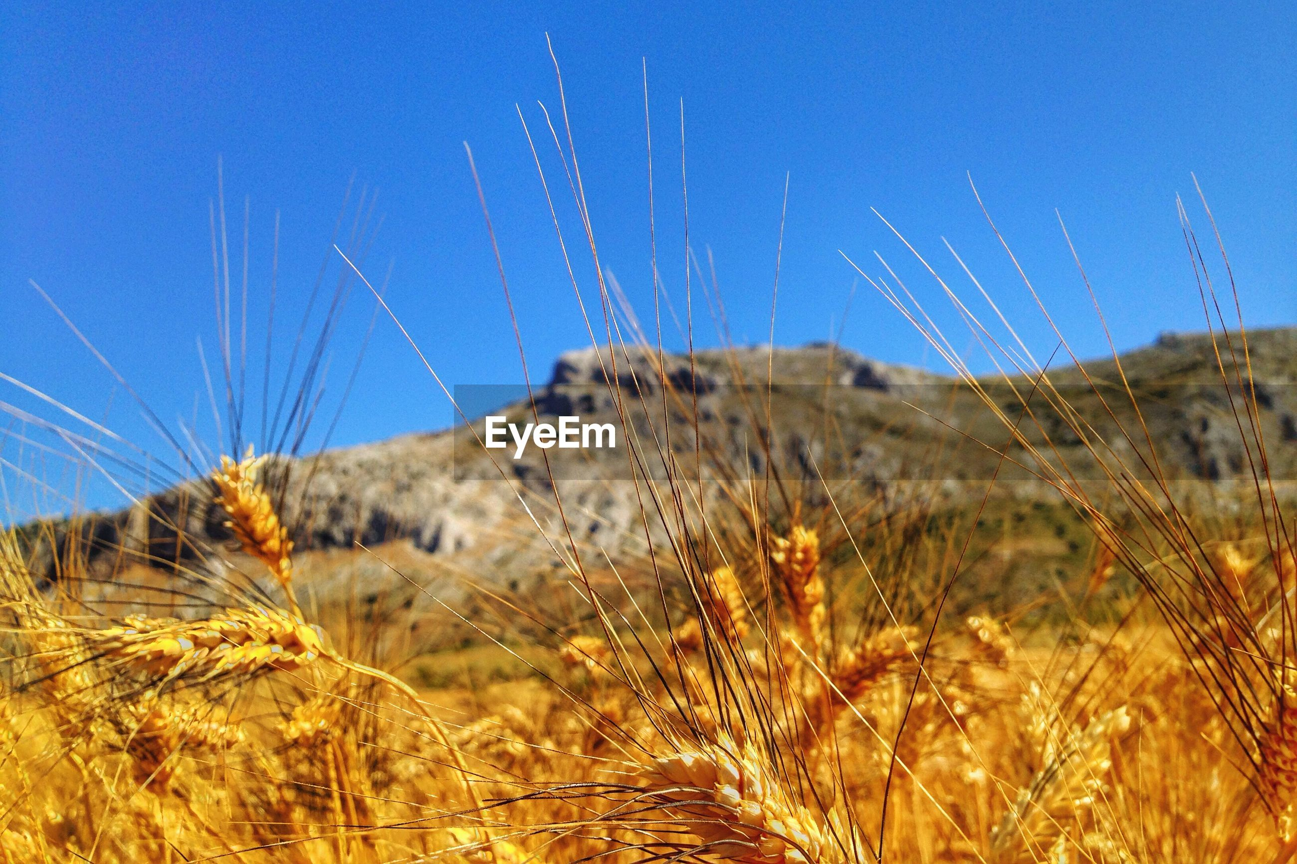 Wheat crops on field against clear sky