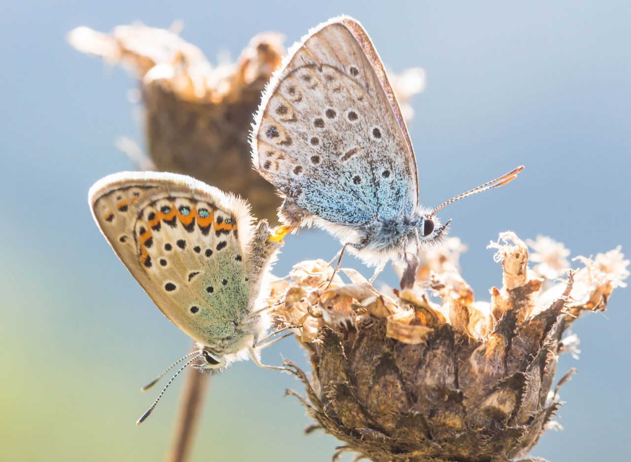 Close-up of butterflies on wilted flower