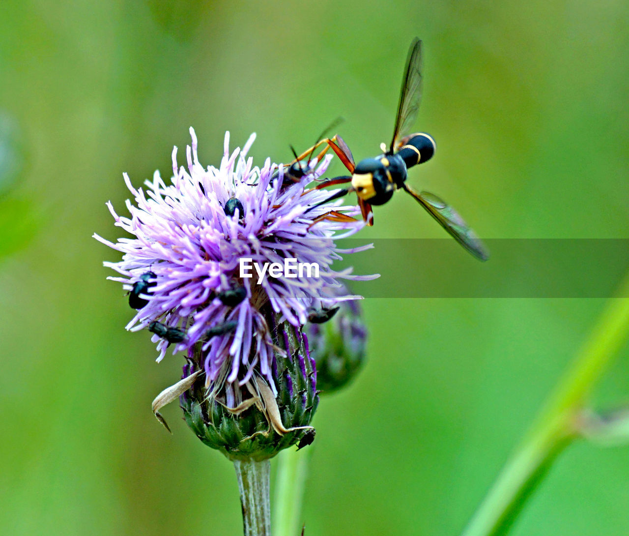 purple, insect, flower, animal themes, nature, one animal, animals in the wild, no people, close-up, day, fragility, beauty in nature, thistle, outdoors, flower head, freshness