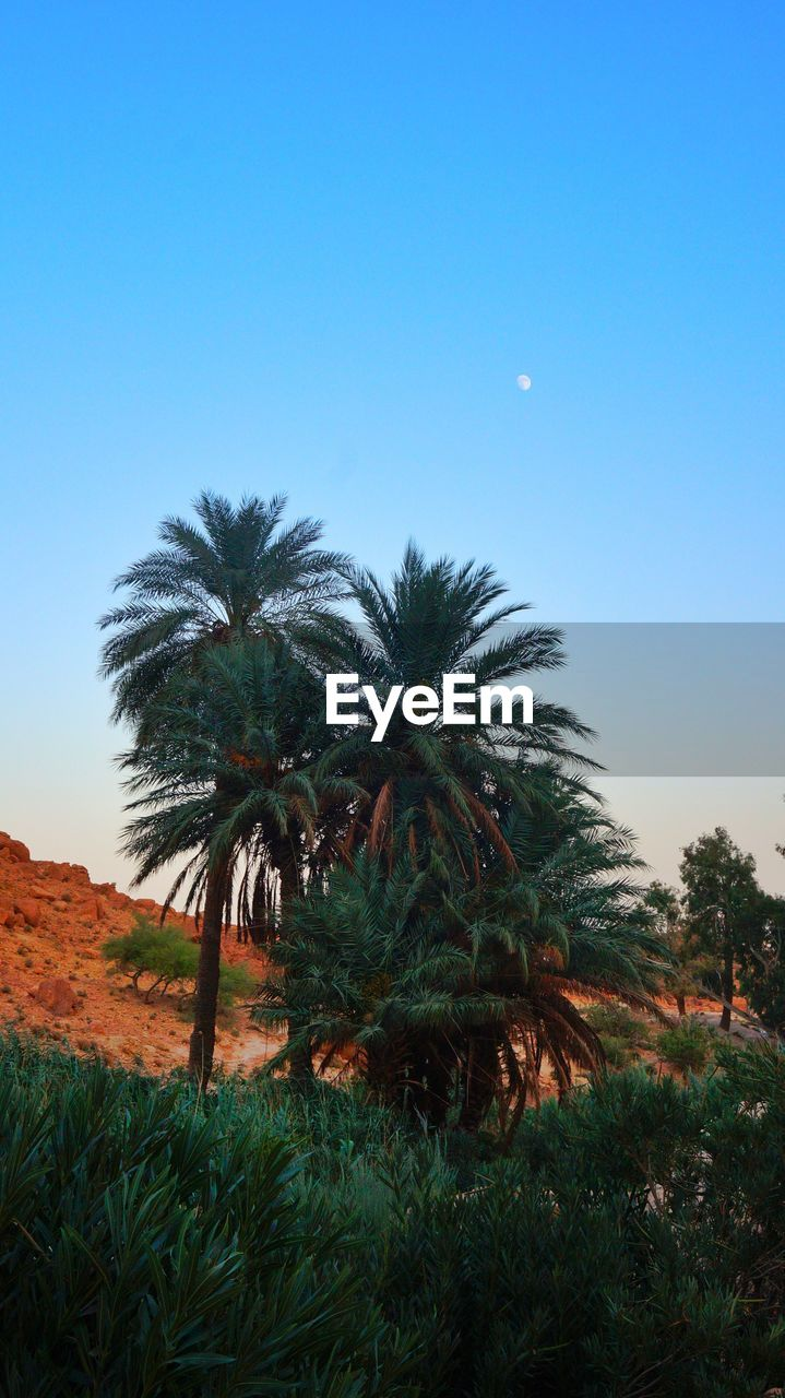 clear sky, growth, tree, nature, landscape, palm tree, tranquil scene, beauty in nature, tranquility, scenics, grass, outdoors, field, no people, moon, blue, day, low angle view, sky