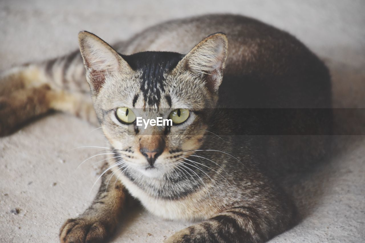 cat, feline, pets, mammal, domestic animals, domestic, domestic cat, vertebrate, one animal, looking at camera, portrait, whisker, relaxation, no people, focus on foreground, close-up, resting, tabby, yellow eyes, animal eye