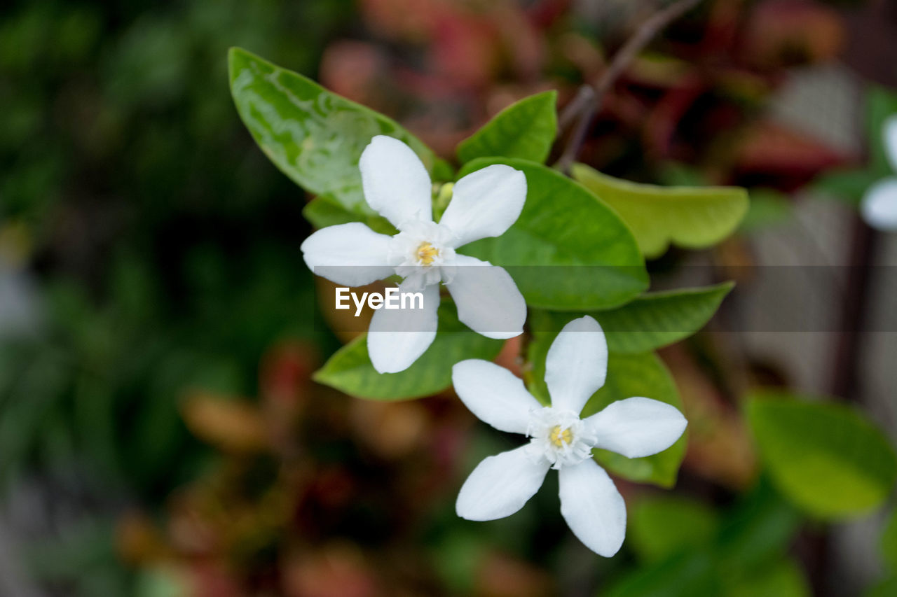 white color, beauty in nature, growth, nature, flower, freshness, petal, fragility, green color, flower head, leaf, focus on foreground, plant, day, close-up, no people, outdoors, periwinkle, blooming
