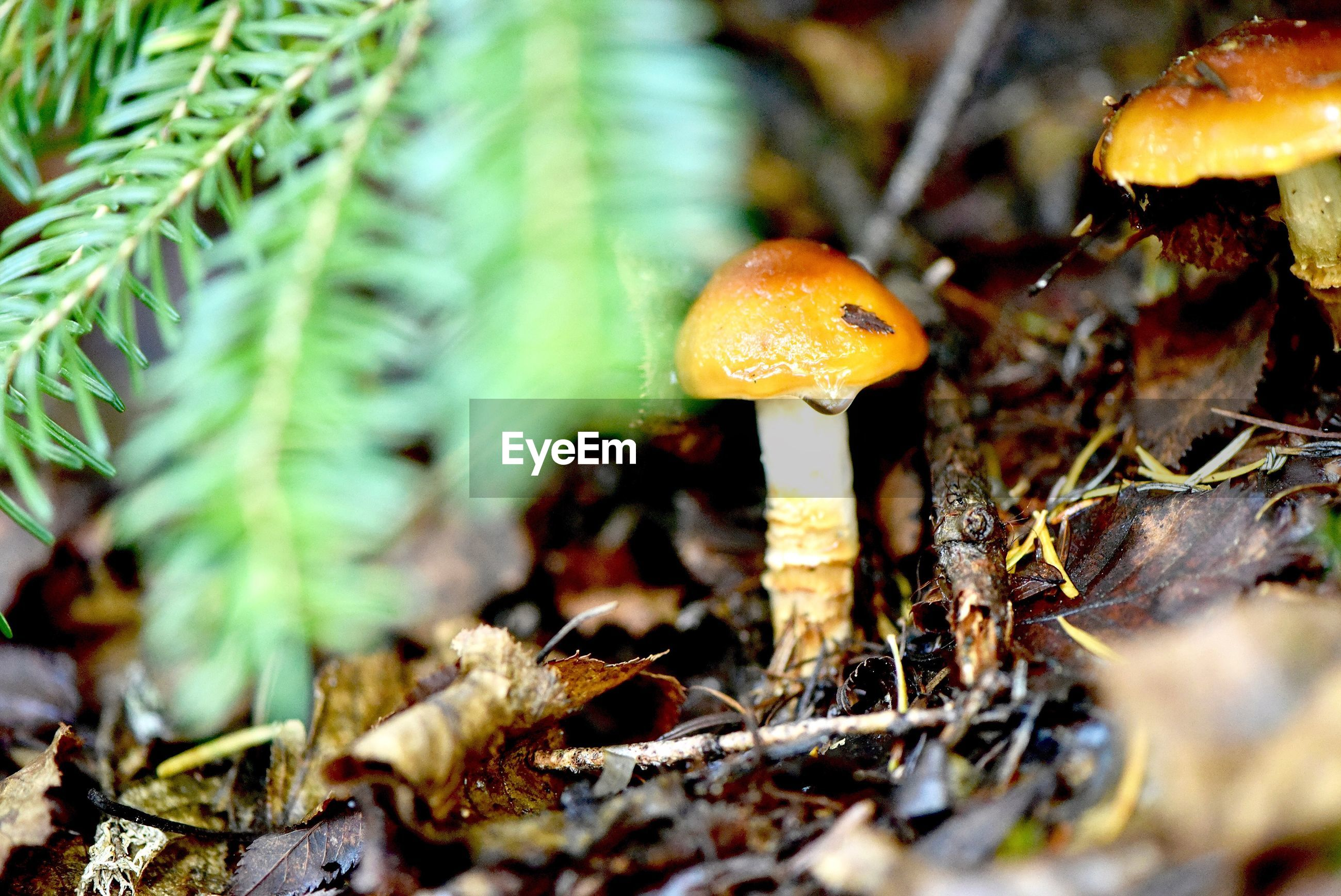 fungus, vegetable, growth, mushroom, plant, food, land, selective focus, field, close-up, nature, no people, beauty in nature, toadstool, day, vulnerability, fly agaric mushroom, leaf, plant part, fragility, outdoors, surface level, poisonous
