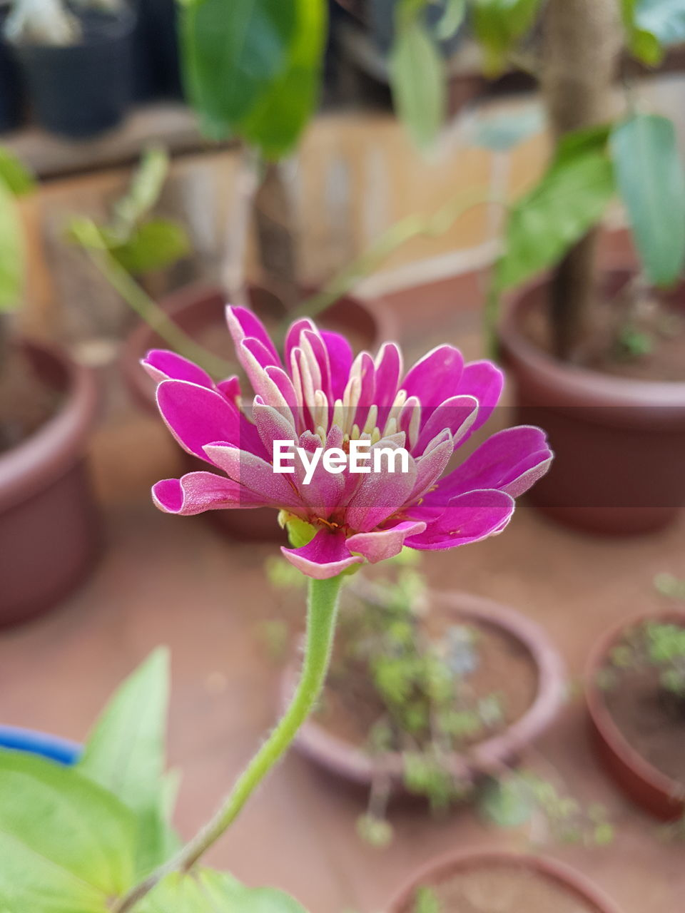 plant, flower, growth, potted plant, pink color, nature, beauty in nature, close-up, fragility, focus on foreground, petal, no people, day, freshness, leaf, outdoors, flower head