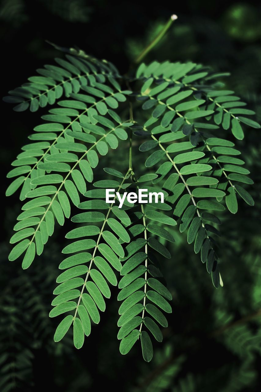 green color, plant part, leaf, growth, plant, close-up, focus on foreground, nature, fern, day, beauty in nature, no people, selective focus, outdoors, pattern, natural pattern, high angle view, leaves, tranquility, tree