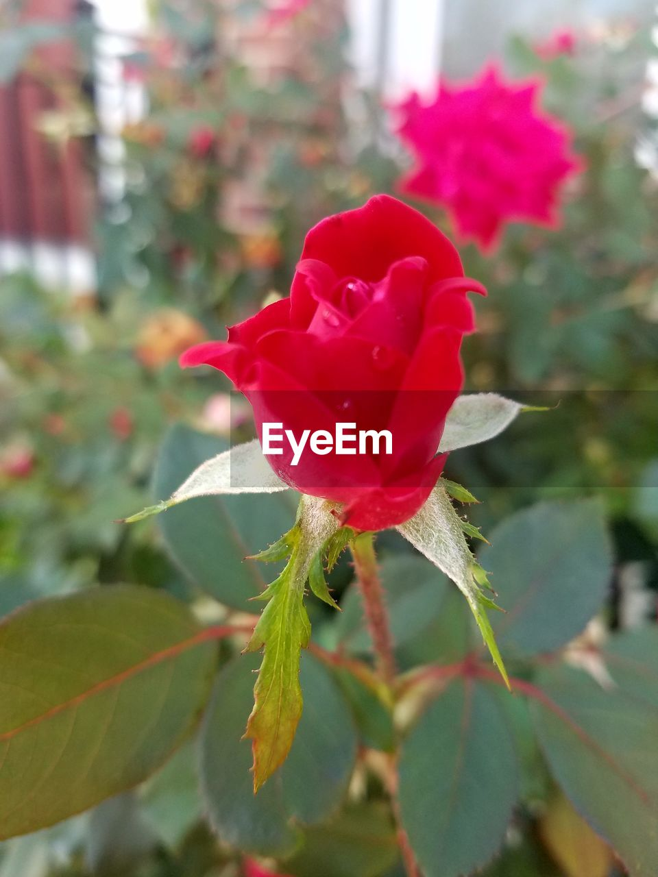 flower, petal, fragility, red, nature, growth, beauty in nature, rose - flower, plant, flower head, freshness, blooming, leaf, day, no people, close-up, outdoors