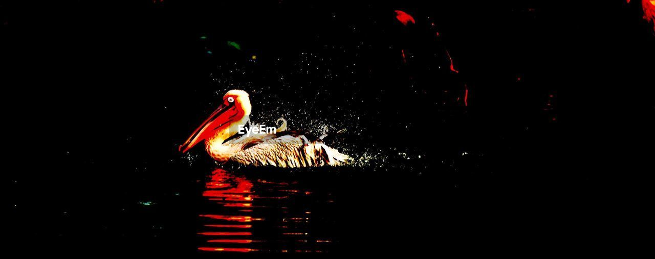 swimming, animal themes, animals in the wild, water, black background, copy space, reflection, waterfront, bird, night, animal wildlife, no people, studio shot, nature, illuminated, swan, outdoors, close-up, black swan