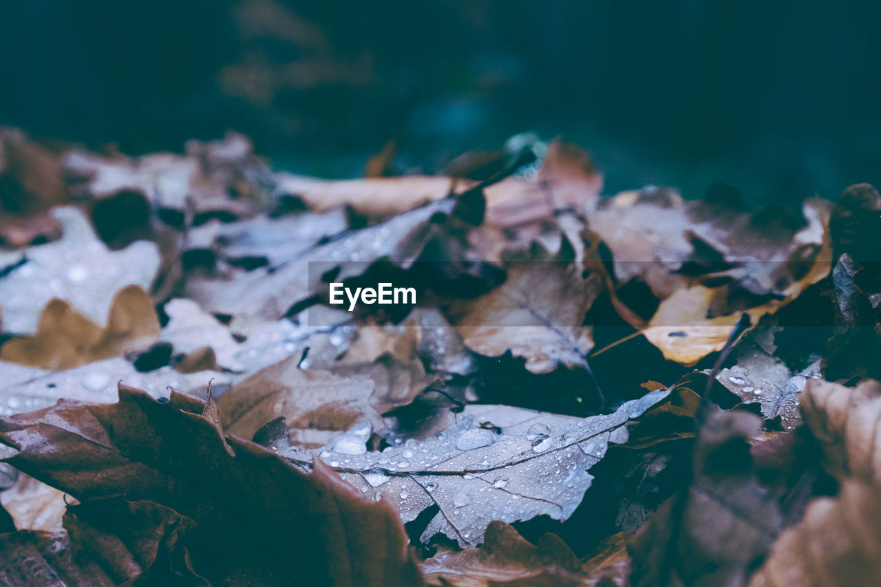 plant part, leaf, leaves, close-up, autumn, change, no people, selective focus, beauty in nature, dry, nature, plant, fragility, vulnerability, day, focus on foreground, tranquility, tree, cold temperature, outdoors, maple leaf, fall, natural condition, dried