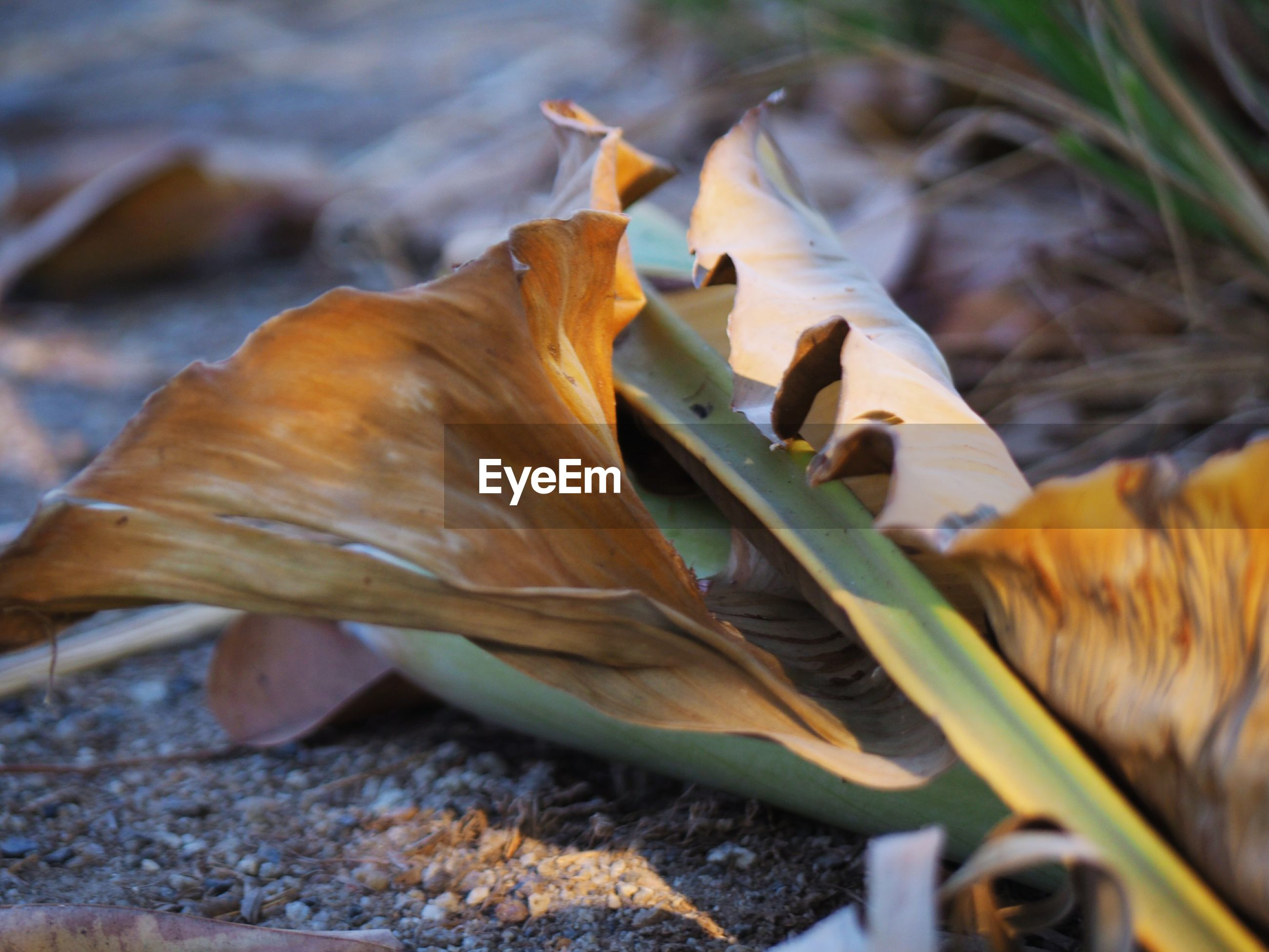 CLOSE-UP OF DRIED LEAVES ON FALLEN LAND