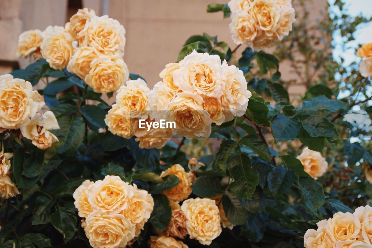 Yellow roses blooming outdoors