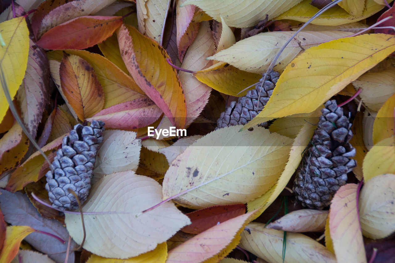 High angle view of pinecones on autumn leaves