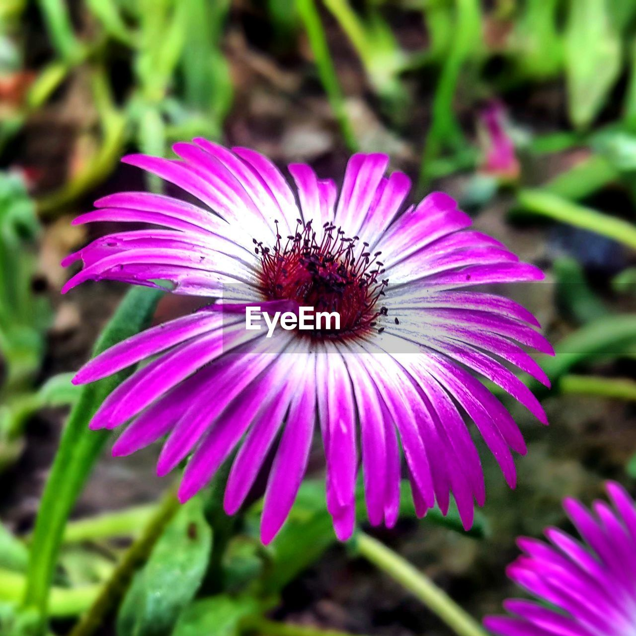 flower, fragility, petal, growth, flower head, nature, freshness, plant, beauty in nature, purple, blooming, focus on foreground, day, pollen, no people, outdoors, eastern purple coneflower, pink color, close-up, osteospermum
