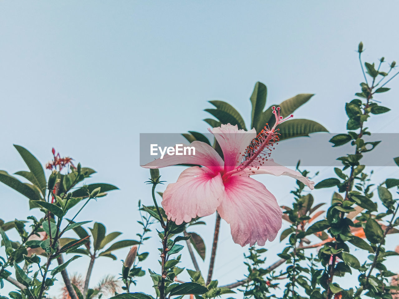 flowering plant, flower, plant, fragility, vulnerability, beauty in nature, growth, freshness, petal, pink color, close-up, flower head, inflorescence, nature, no people, leaf, plant part, sky, hibiscus, day, outdoors, springtime, pollen