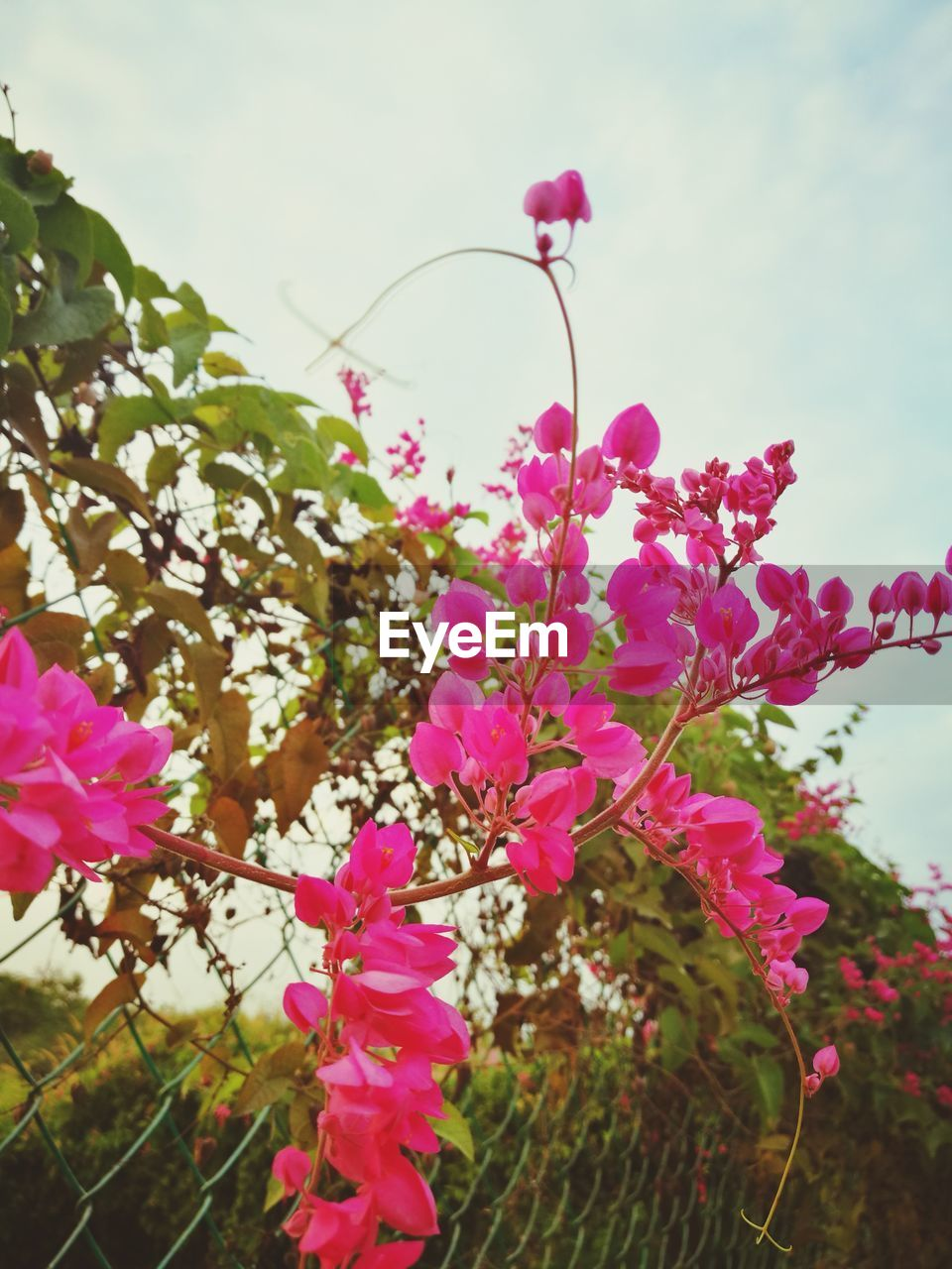 pink color, flower, growth, fragility, nature, beauty in nature, petal, freshness, no people, plant, day, outdoors, blooming, close-up, flower head, tree, bougainvillea, sky