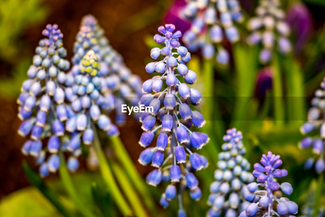 purple, flower, nature, beauty in nature, growth, fragility, selective focus, plant, hyacinth, blue, day, no people, outdoors, freshness, close-up, flower head