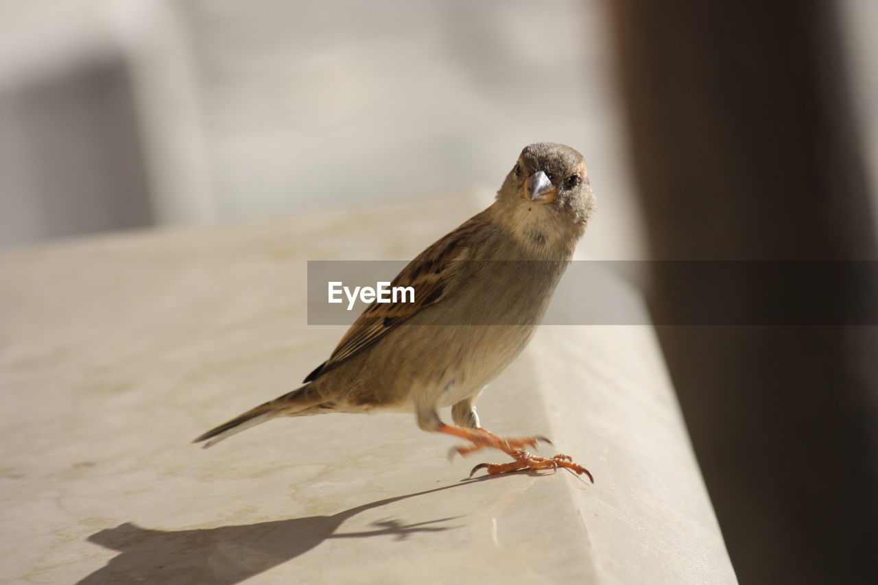 animal themes, animal, animal wildlife, bird, vertebrate, one animal, animals in the wild, sparrow, perching, focus on foreground, day, no people, close-up, nature, outdoors, sunlight, selective focus, wall - building feature, songbird, full length, small