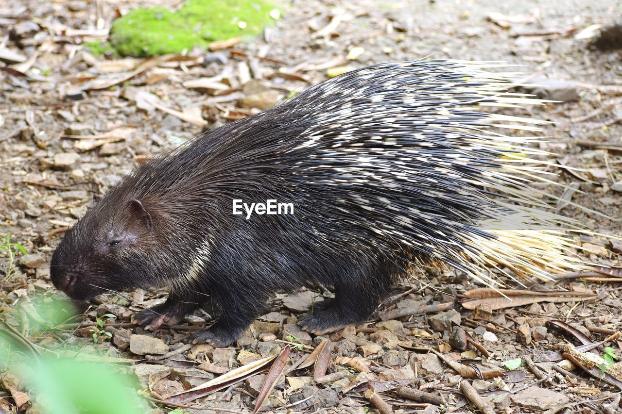 one animal, animal themes, outdoors, no people, animals in the wild, day, mammal, animal wildlife, nature, hedgehog, close-up