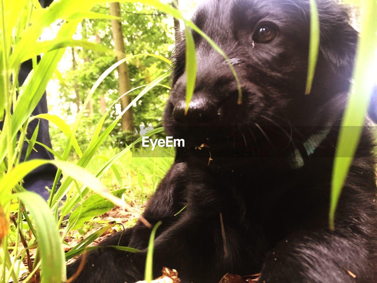 dog, pets, domestic animals, animal themes, one animal, mammal, black color, grass, labrador retriever, no people, nature, outdoors, black labrador, close-up, sunlight, day, friendship