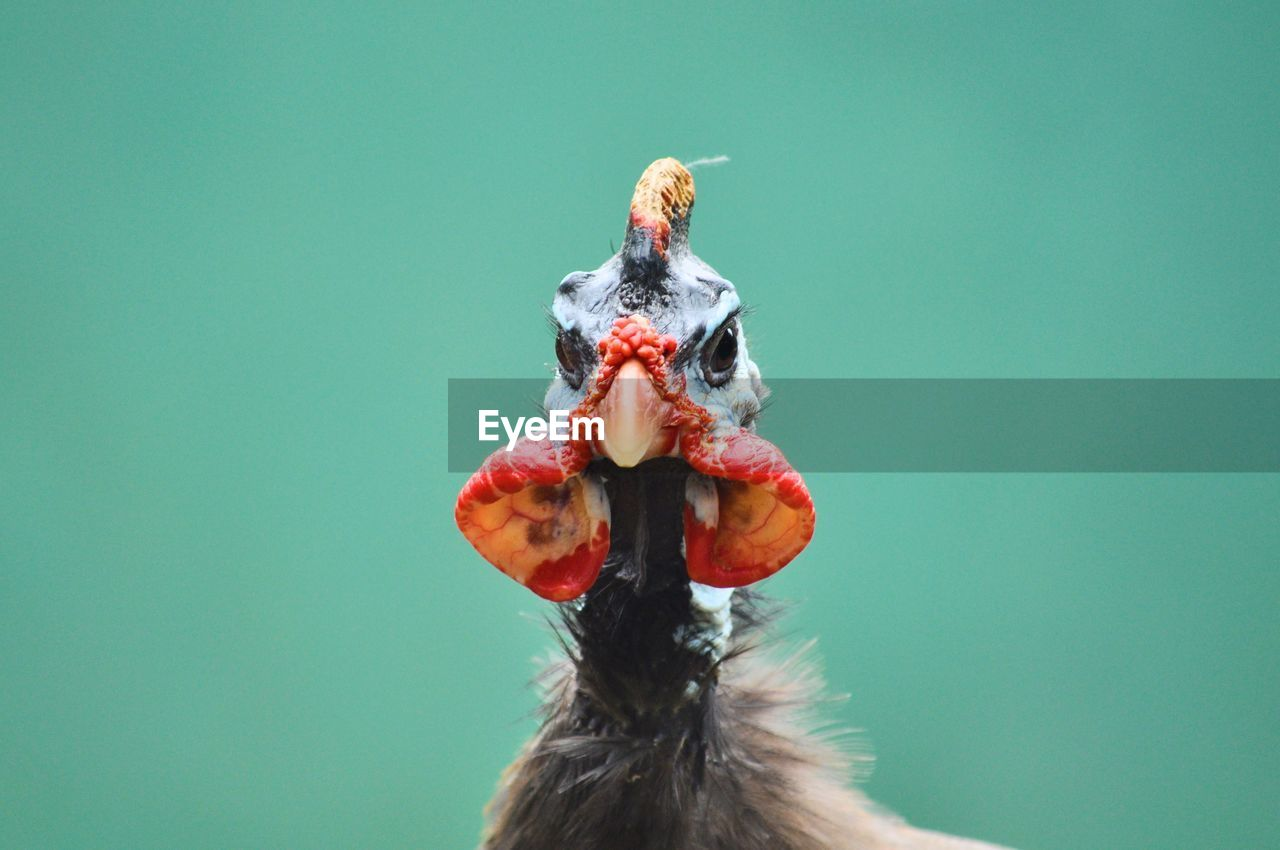one animal, animal themes, no people, close-up, animal, bird, copy space, red, studio shot, vertebrate, colored background, nature, animal wildlife, day, food and drink, animals in the wild, food, indoors, blue, focus on foreground, animal head