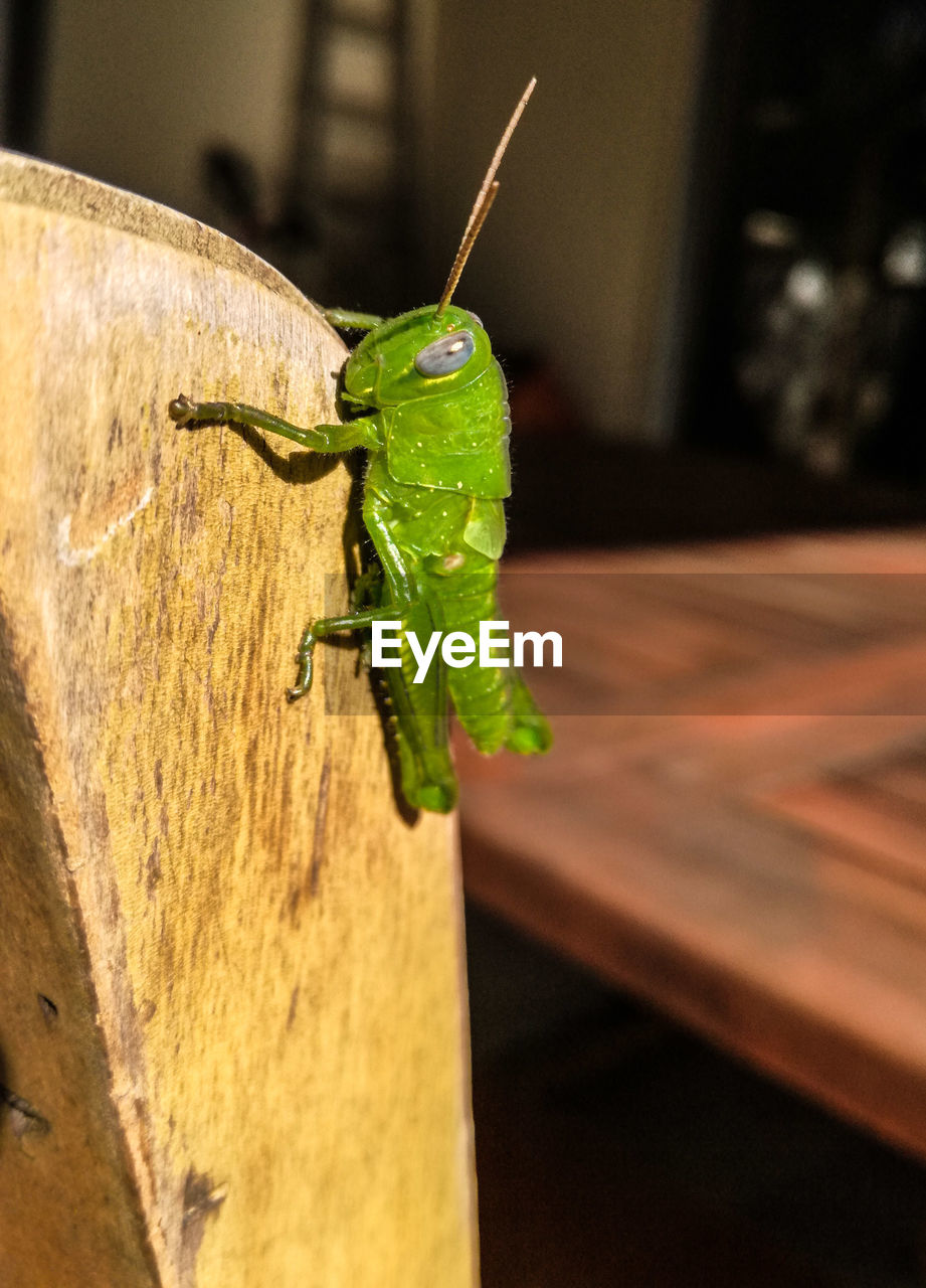 invertebrate, insect, animals in the wild, animal themes, animal wildlife, green color, close-up, focus on foreground, animal, one animal, grasshopper, animal antenna, wood - material, no people, animal body part, praying mantis, day, outdoors, nature, selective focus