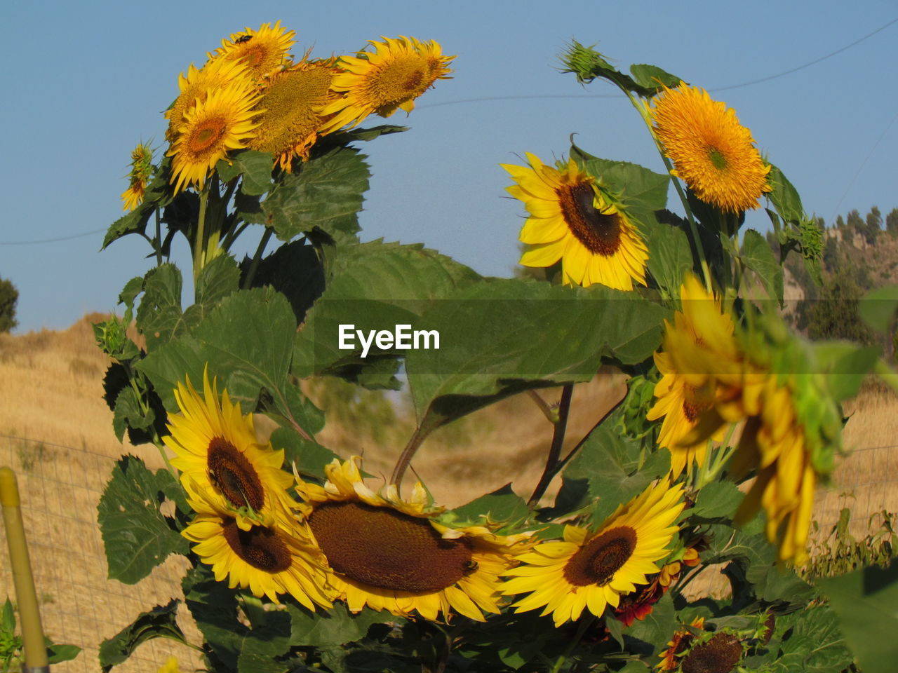 flower, yellow, growth, nature, plant, fragility, beauty in nature, petal, day, outdoors, no people, flower head, sky, field, freshness, sunflower, springtime, sunlight, leaf, close-up, clear sky, blooming, scenics