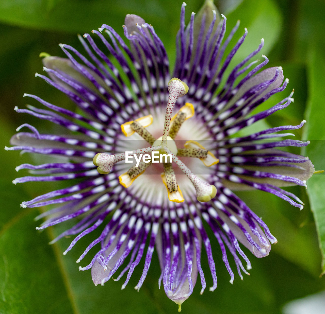 flower, flowering plant, vulnerability, fragility, petal, flower head, beauty in nature, inflorescence, freshness, plant, close-up, purple, growth, passion flower, pollen, nature, focus on foreground, day, no people